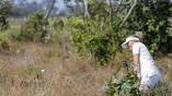 Датчанка Нанна Коэрст Мэдсен пытается выбить шарик для гольфа из зарослей