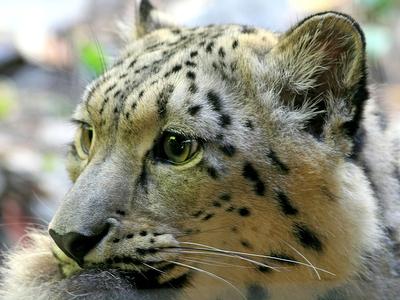 сергей иванов помог сохранению дальневосточных леопардов