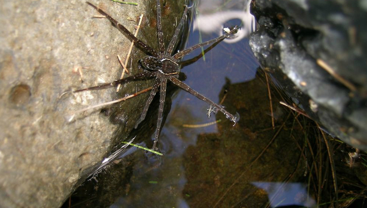 В Австралии найден паук – охотник на рыб