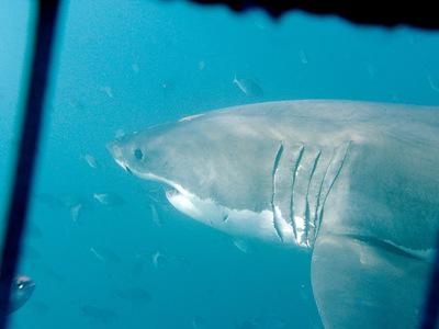 В Австралии белая акула напала на 17-летнюю девушку