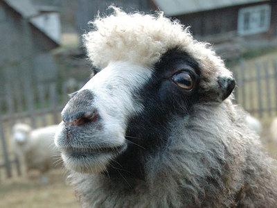 Голова овцы и протез ноги: странные подарки от благотворителей