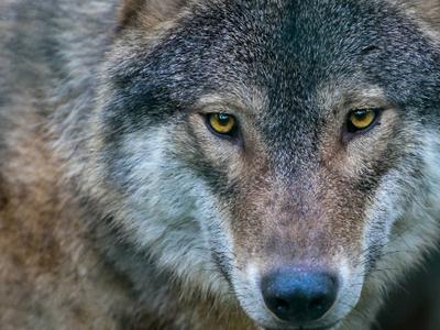 В барнаульском зоопарке на ребенка напал волк