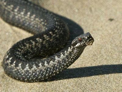 В квартиру жительницы Новосибирска заползла ядовитая змея