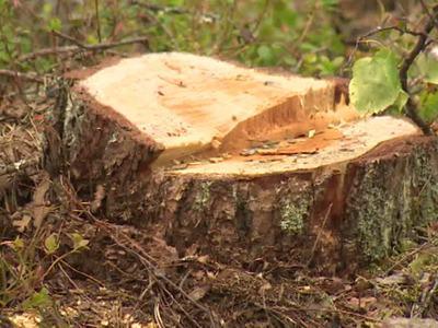 Неизвестные под Кировом вырубили лес на 2,5 миллиона рублей