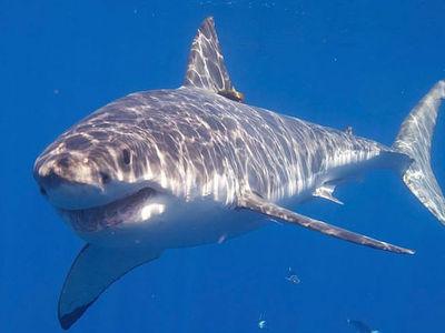 У побережья острова Реюньон от нападения акулы погиб серфингист