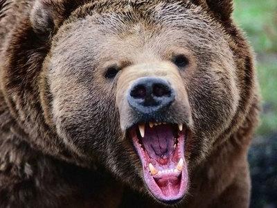Полиция нашла медведя, сбежавшего из литовского кафе