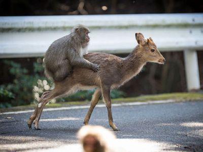 Японский макак попытался изнасиловать олениху. Видео