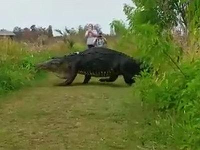 Во Флориде на глаза людям показался гигантский аллигатор-пешеход. Видео
