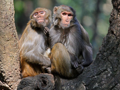 Противозачаточный гель показал эффективность на самцах обезьян. Впереди испытания на мужчинах