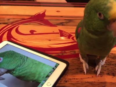 Попугай спел сам с собой на два голоса. Видео