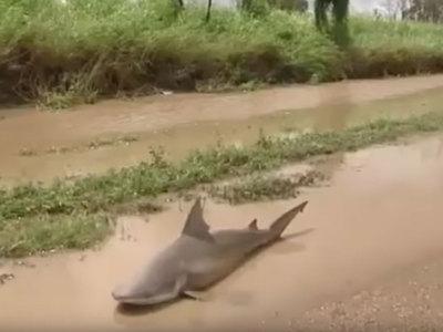В Австралии ураган вынес акулу на проезжую часть. Видео