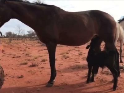 В Австралии лошадь усыновила осиротевшего теленка. Видео
