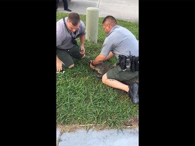 Полиция надела наручники на аллигатора. Видео