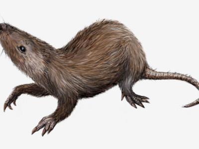 В Сибири найдены останки неизвестного грызуна - ровесника динозавров