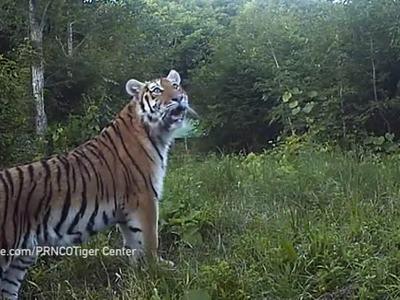 Спасенную амурскую тигрицу Филиппу выпустили в заказнике Дичун
