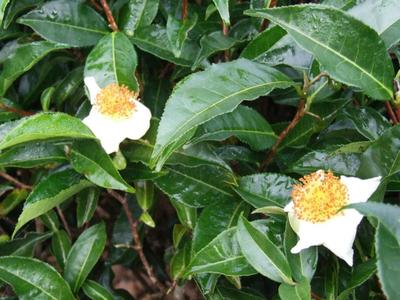 Китайские исследователи расшифровали геном чайного растения