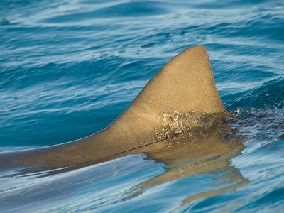Акула искусала серфера, но съесть не успела