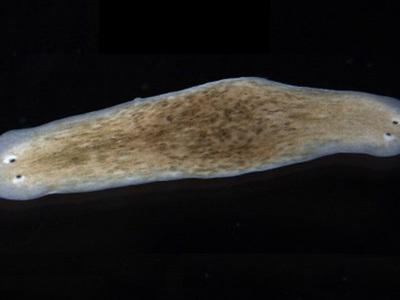 Биоэлектрическая стимуляция заставила червя отрастить вторую голову вместо хвоста