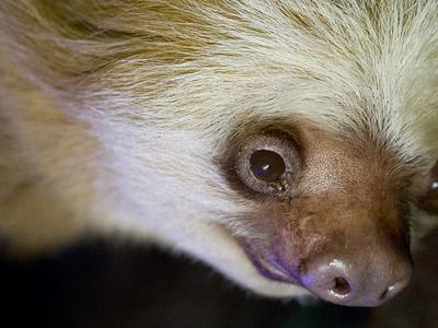 В Австралии умер 43-летний ленивец, переживший сородичей в четыре раза