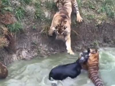 В китайском зоопарке тиграм скормили живого осла