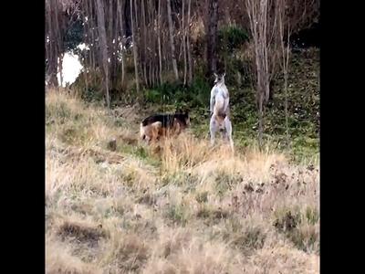 Драку кенгуру и овчарки пришлось разнимать полицейским. Видео