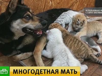"""Собака стала """"мамой"""" для тигрят-отказников редкого окраса"""