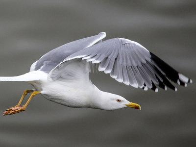 Выгуливающая чайку на поводке британка обвиняется в жестоком обращении с животными