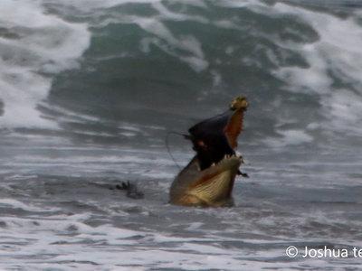 Крокодил закусил на пляже скатом. Видео