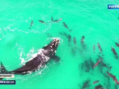 Дельфины станцевали вальс с китом-касаткой: видео