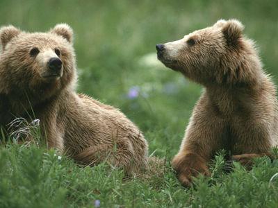 Медведи кадьяки время от времени переключаются на вегетарианство из-за изменения климата
