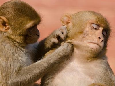 Исследователи выяснили, как самки обезьян низших рангов свергают с пьедестала лидера