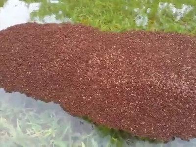 Муравьи уплывают от урагана целыми колониями. Видео