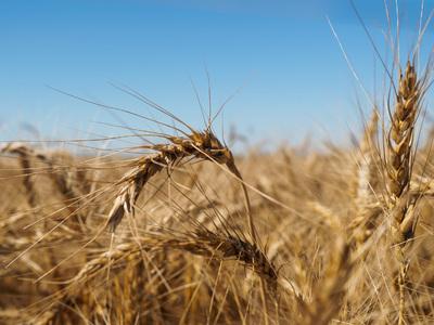 Россия увеличит поставки пшеницы в Венесуэлу