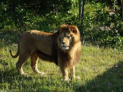 В ЮАР двух львов убили для приготовления магического зелья