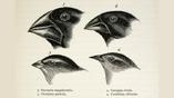 """Чарльз Дарвин впервые описал вьюрков и их эволюцию во время своего плавания на корабле """"Бигль"""""""