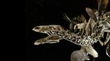 Череп Софи невероятно тонкий и состоит из 50 различных костей