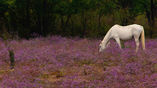 Белые лошади встречаются в природе редко, за что их особенно ценят разводчики. Однако такие животные часто страдают от рака кожи, да и в дикой природе хищники на них нападают чаще - выдаёт яркий окрас. Зато хоть слепни не кусают.