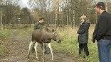 В поисках пищи собаки забредают на территорию заповедника, охотятся на лосей