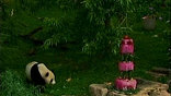 Китай охотно дает животных в аренду зоопаркам США и Японии