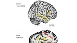 Анатомия человеческого (сверху) и собачьего мозга, с выделенными областями, отвечающими за обработку вокальных сигналов