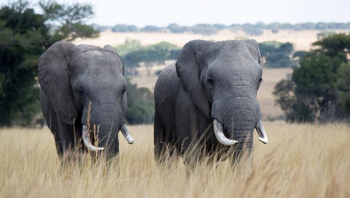 Зоозащитники требуют от компании HBO перестать снимать в сериалах живых слонов