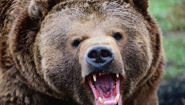 Медведь в Приморье напал на сторожа автобазы