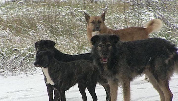 В Якутии стая собак напала на восьмилетнего мальчика