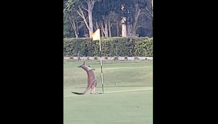 Молодой кенгуру попытался соблазнить флажок на поле для гольфа. Видео