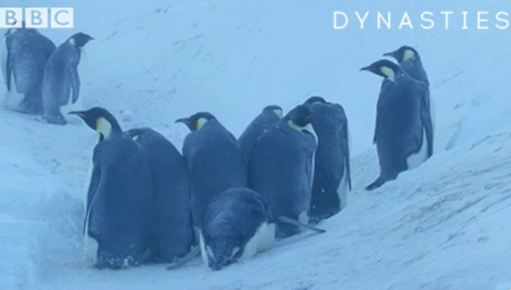 Документалисты спасли пингвинов, нарушив главное правило своей профессии
