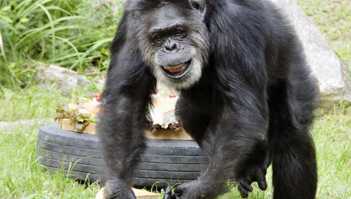 В Японии умер старейший шимпанзе