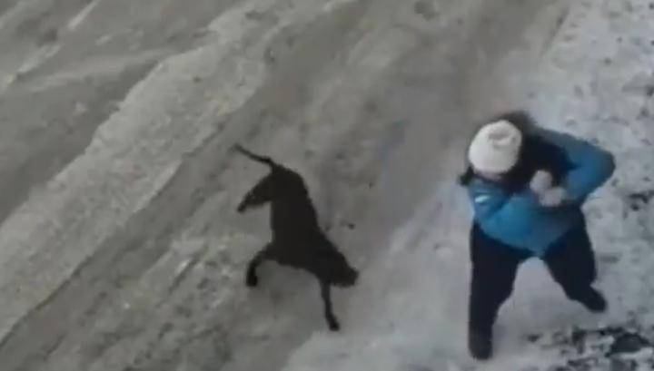 На Камчатке бойцовская собака изранила беременную женщину и ее питомца