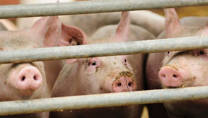 В Приморье найдены новые очаги африканской чумы свиней