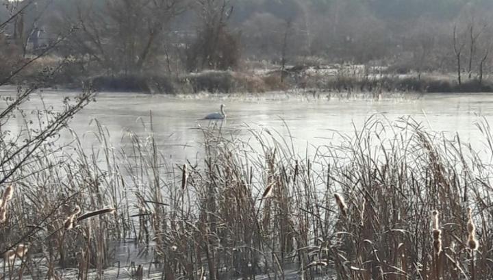 Воронежцы проведут операцию по спасению вмерзшего в ледяное озеро белого лебедя