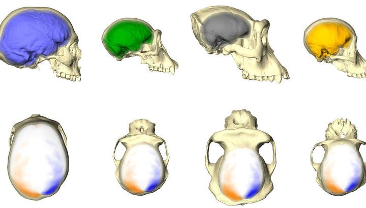 У обезьян нашли человеческую асимметрию мозга